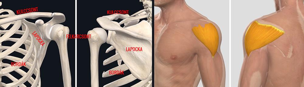 milyen kenőcsök segítik a vállízület artrózisát)